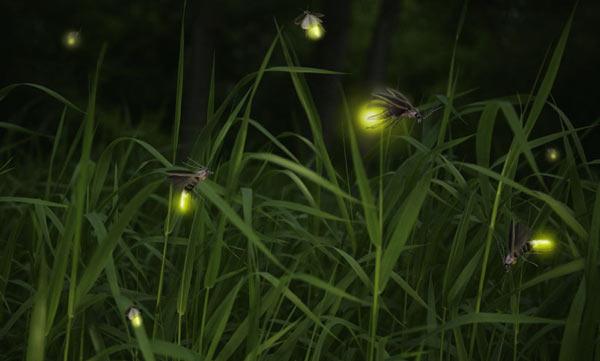 fireflies - szentjánosbogarak