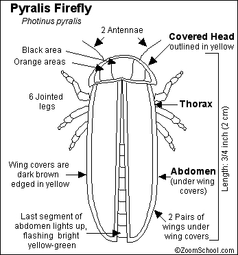 the body parts of a firefly